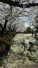 H31桜1.jpg