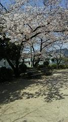 H31桜2.jpg